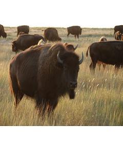 Bisons en Parade Index du Forum