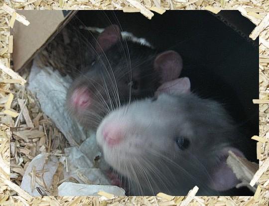 Le forum des rats Index du Forum